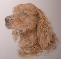 Colored pencil portrait of Irish Setter dog