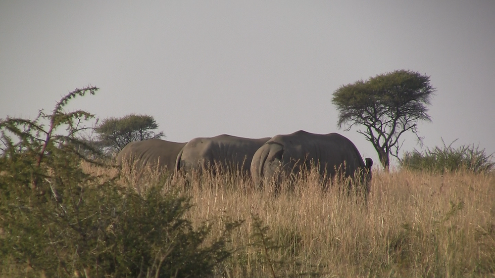The rhinos calmly grazing a few hours after being dehorned.