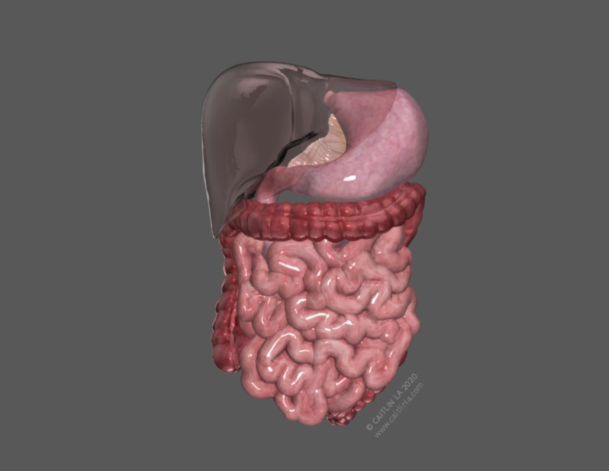 Lesser Omentum Peritoneum Model
