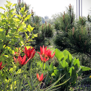 Тюльпаны ботанические 'Lizzy'
