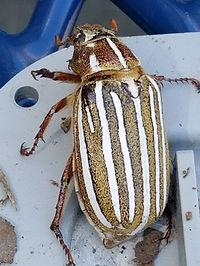 10 Lined June Beetle.jpg