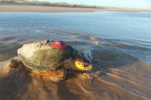 Estudo de telemetria em Sergipe instalou transmissores em 47 tartarugas marinhas