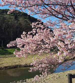 河津桜と初体験