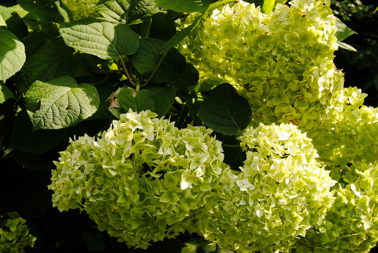 2019_HGW_Wildcat Mountain Farm hydrangea