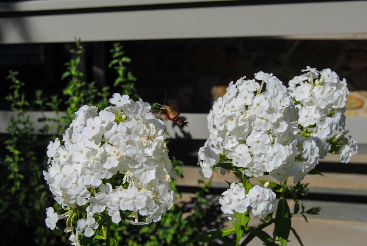 2019_HGW_Merry Oak hummingbird moth.jpg