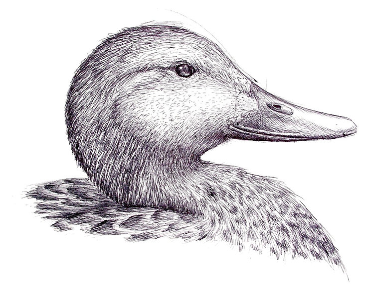 black and white pen drawing of a duck