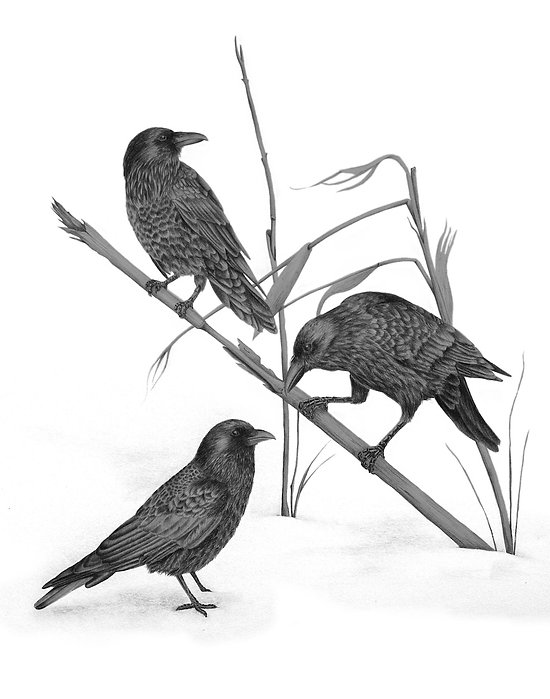 black and white graphite pencil drawing by Mercedes Victoria of ravens on corn stalk in snow