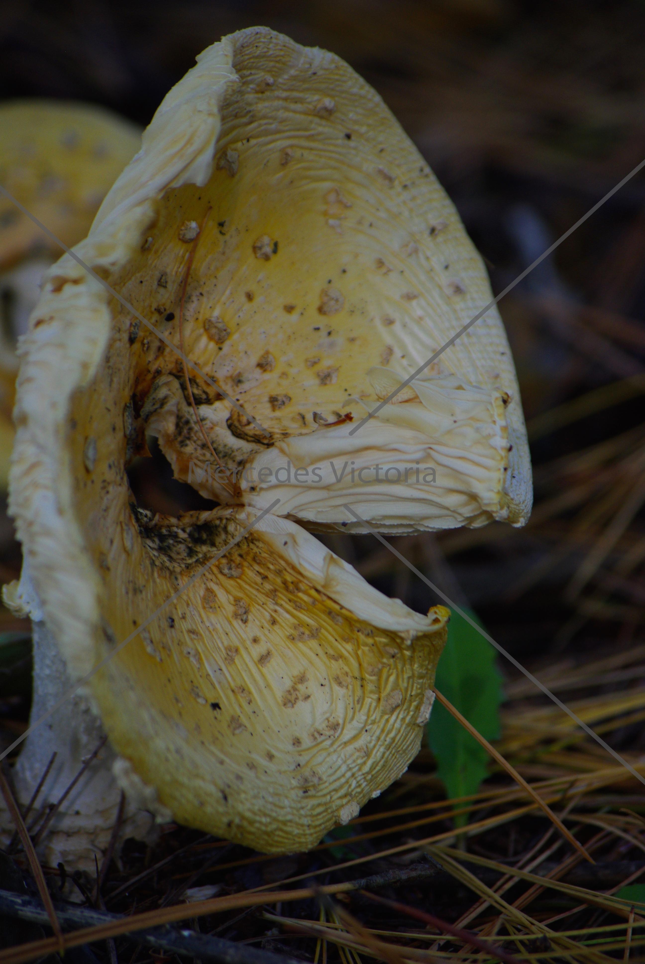 """""""Mushroom Side"""""""