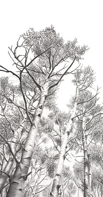 black and white graphite pencil commission drawing by Mercedes Victoria of birch aspen trees in Colorado