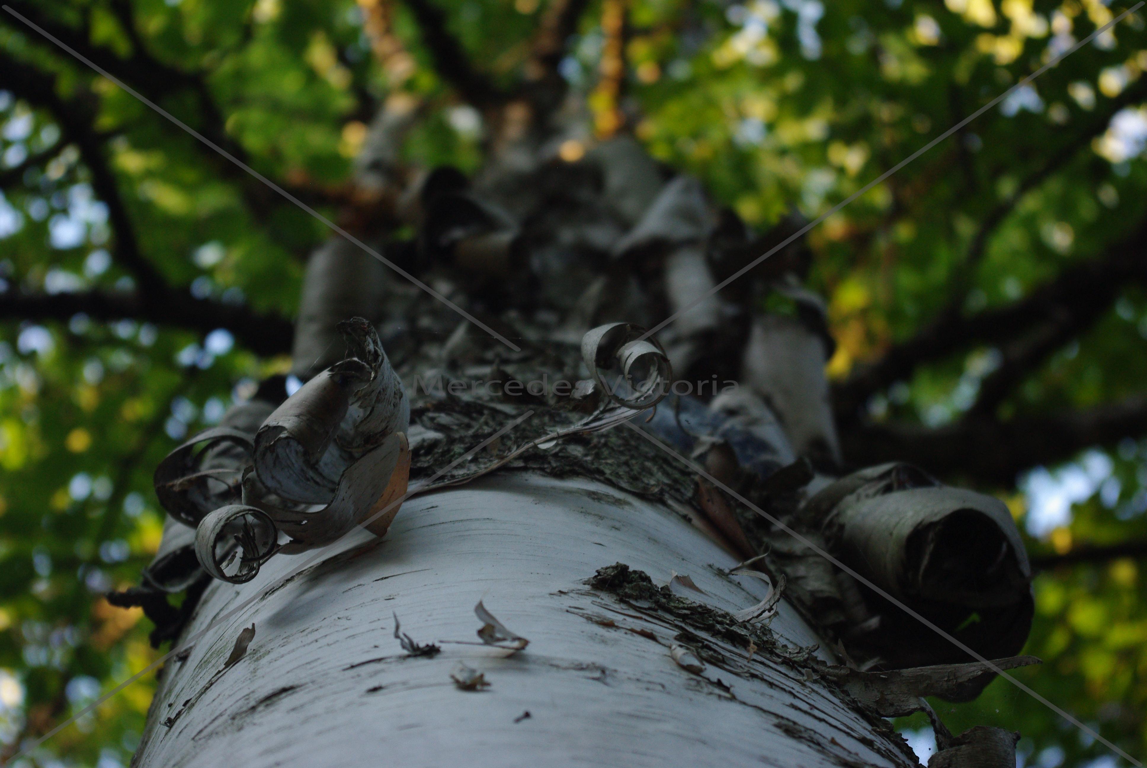 """Birch Bark"""