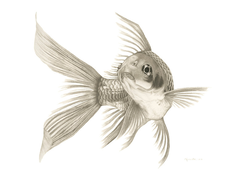 black and white chalk pastel drawing by Mercedes Victoria of Fishy goldfish animal