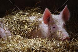 """""""This Little Piggy..."""""""