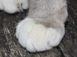 The cat's paw makes its way into employment cases