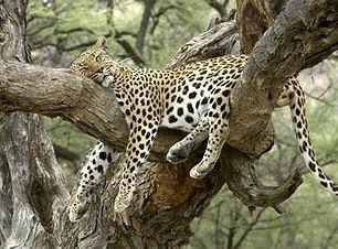 Relaxing leopard.jpg