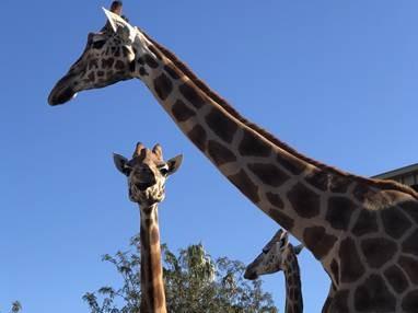 Magnificent Giraffes - Sacred Giants meet Aspirall