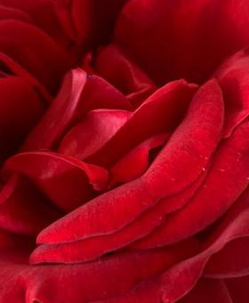 Red Roses, Love and Strength in Daily Life
