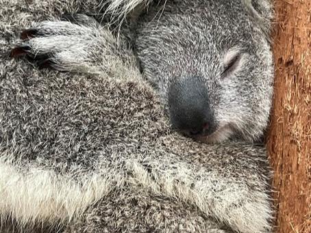 Aspirall's Encounter with Australia's Precious Marsupial