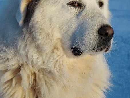 Randonneurs et chiens de protection de troupeaux