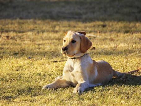 La durée des promenades selon l'âge de son chien