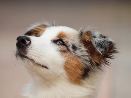 Gène MDR1 chez le chien de berger