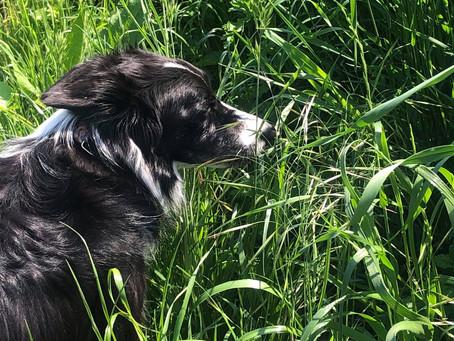 Manger de l'herbe : mon chien adore !
