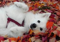 American Eskimo Dog  Maggie  photo by PogoFish Media