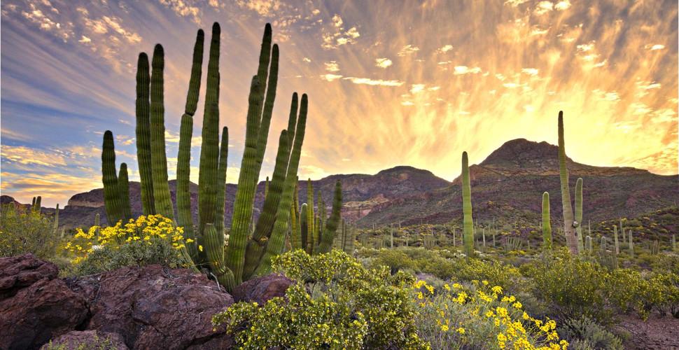sonora-cactus-organ-pipe.jpg
