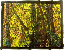 Oak Chiaroscuro