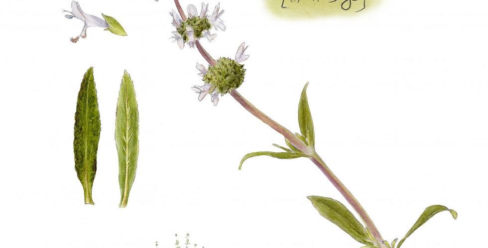 """Salvia mellifera (Black Sage)"" by Brett Bell"