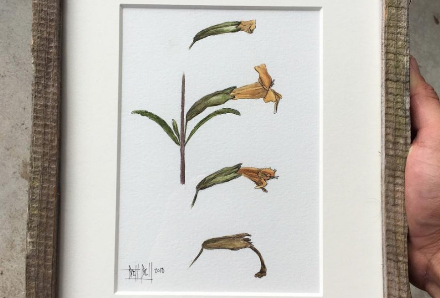 """Sticky Monkeyflower Phenology"" by Brett Bell"