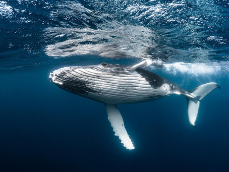 National Geographic Article – How much is a whale worth?