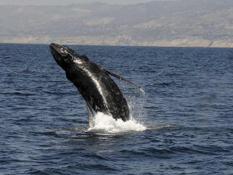 Shipping noise impairs ability of humpback whales to forage