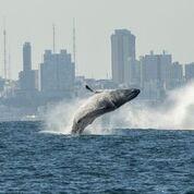 Press Release – Brazilian whales worth billions