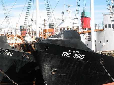 Iceland announces no Fin whale hunt in 2016!