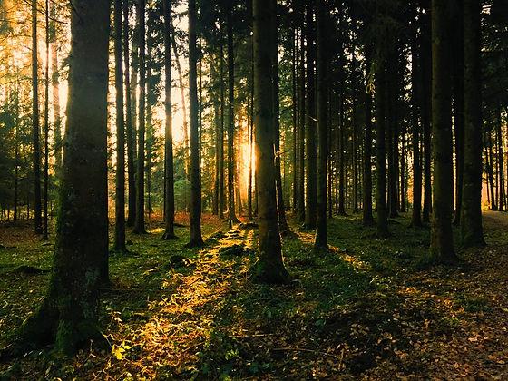 forest with sun .jpg