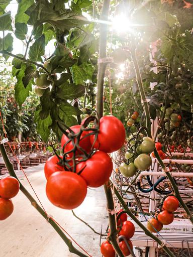 tros tomaat.jpg