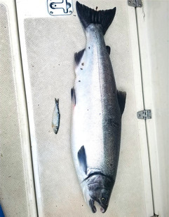 Coho Salmon Fishing Prince Rupert