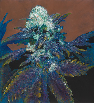 Cannabis indica x sativa, twisty's delight