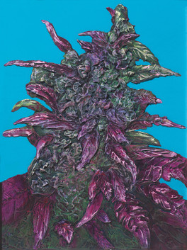 Cannabis indica x sativa, dark devil