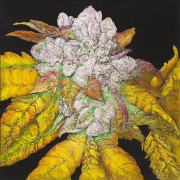 Cannabis indica x sativa, gg4