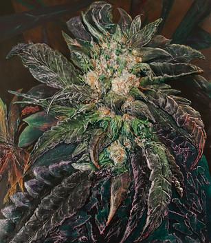 Cannabis indica, bubba kush #2