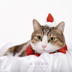 影藝攝影-專業貓咪攝影-白底 草莓毛01