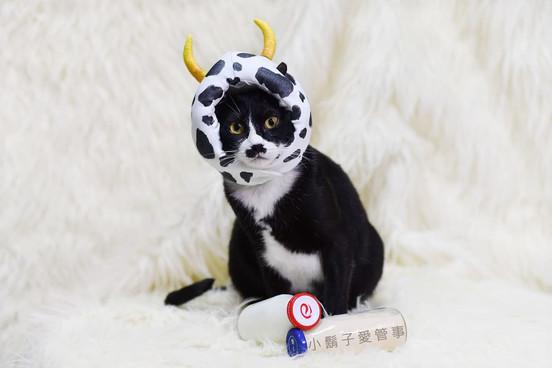 影藝攝影-寵物攝影-貓貓咪寫真-乳牛角色扮演.jpg