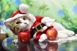 影藝攝影-寵物攝影-貓貓咪寫真-聖誕節