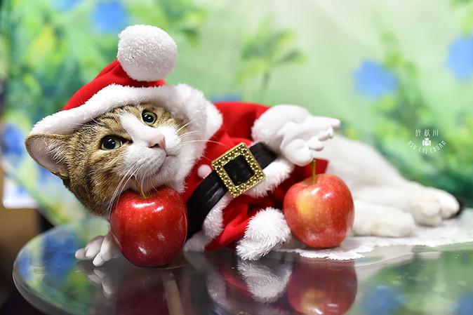 影藝攝影-寵物攝影-貓貓咪寫真-聖誕節.jpg