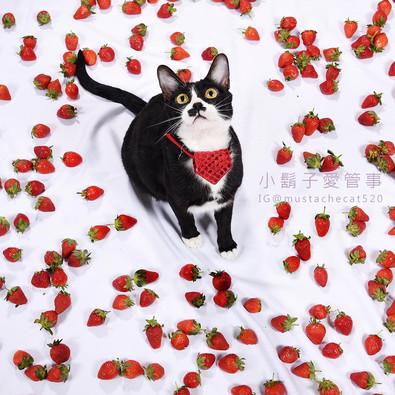 影藝攝影-專業貓咪攝影-草莓.jpg