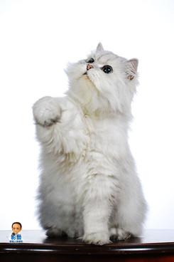 影藝攝影-寵物攝影-貓貓咪寫真-白底.jpg