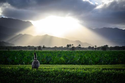 goose-on-grass-2526039.jpg
