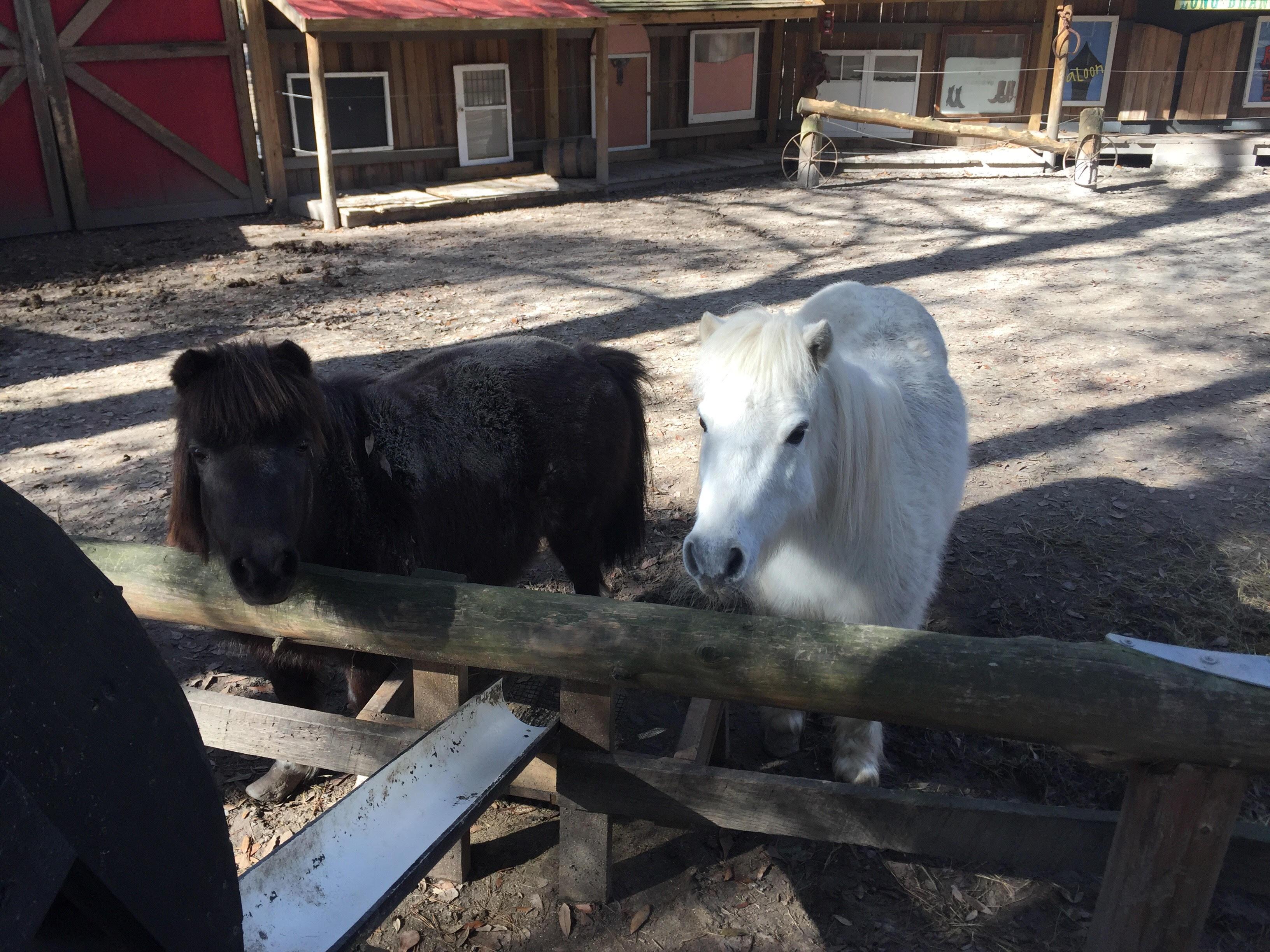 The Mini Horses in Dodge City