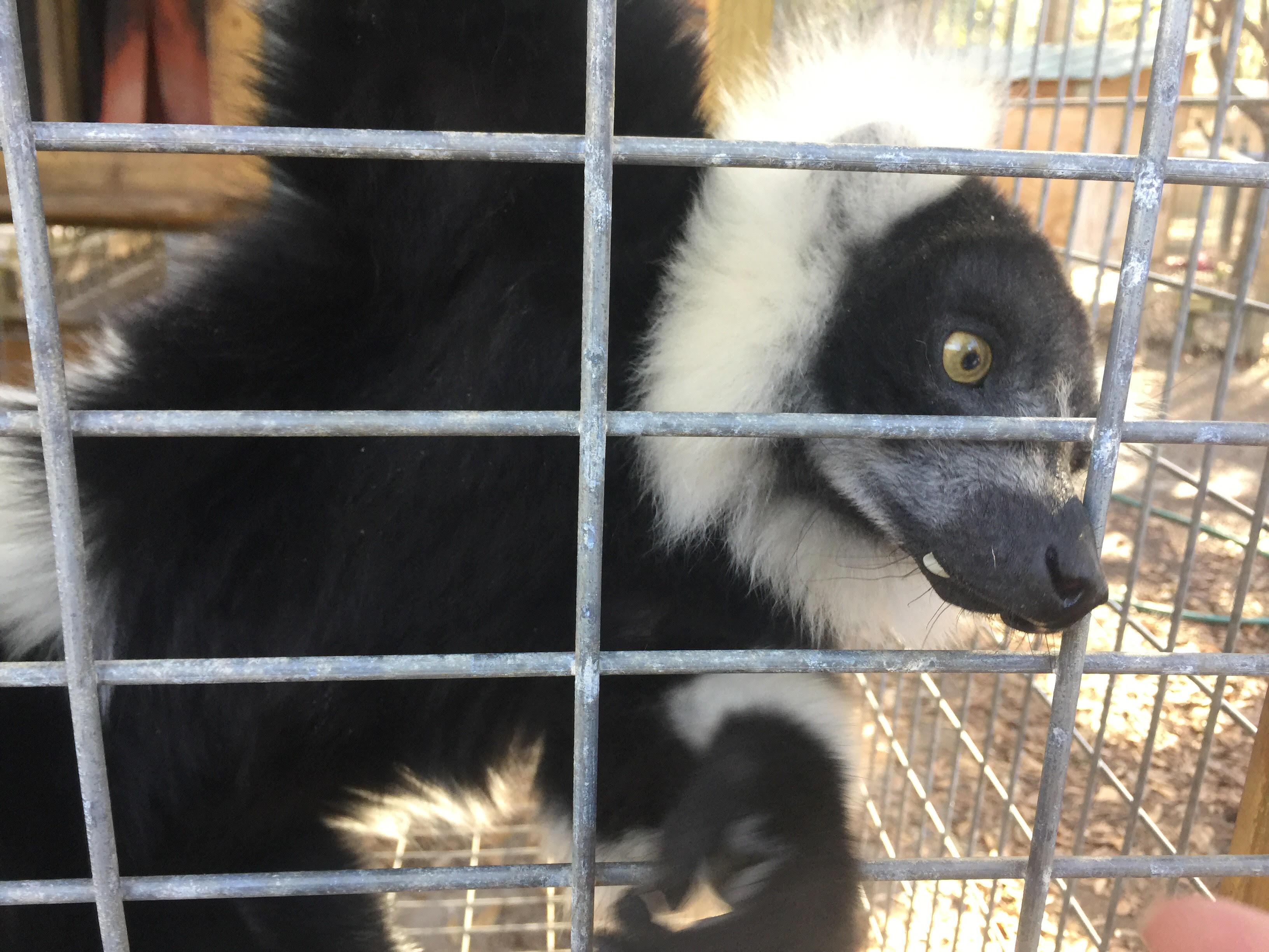 Margaret the Black and White Lemur